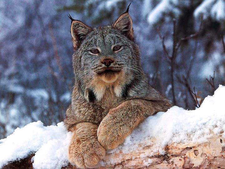 superbe Lynx A grosse fourure